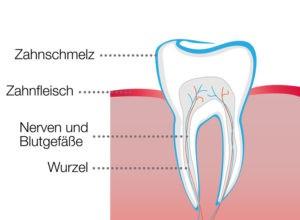 Aufbau eines Zahns.
