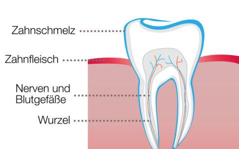 Zahn Vector Grafik