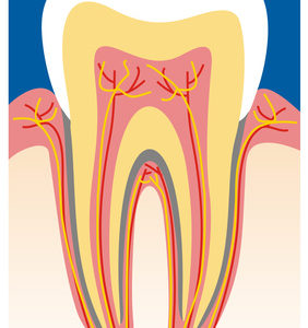 Zahnstruktur- Bild eines Zahnes